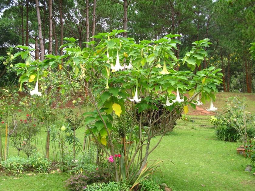 A Petchabun tree...