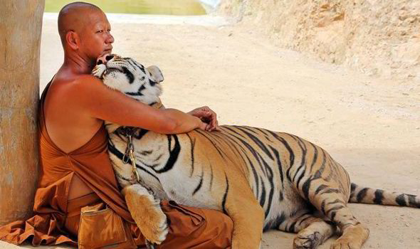 tiger with monk